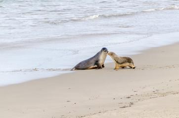 Sea Lion Mum & Pup reunion