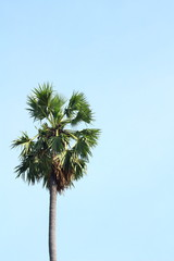 Asian Palmyra palm