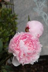 Rosa Pfingstrosen vor Grabstein