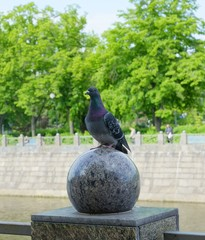 Gray dove sitting on a granite ball
