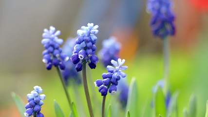 Blue hyacinth flowers close up. Muscari stands on wind and bee