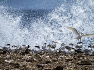 Terns and waves