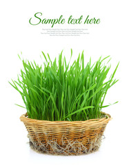 Grass in wicker basket with roots isolated on white