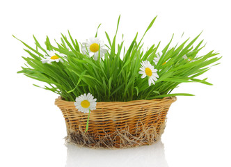 White daisies and grass in wicker basket isolated on white
