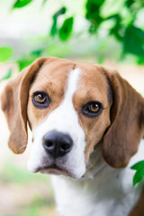 Portrait of cute beagle dog looking into the camera