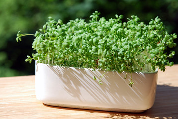 Garden cress in white pot on a balcony shelf