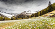 Valmalenco (IT) - fioritura bucaneve