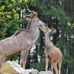 pair of antelope kudu in beautifull moment