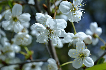 White flowers of cherry-trees in the bright afternoon sunlight