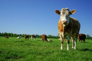 Rinderherde, Kuh blickt neugierig