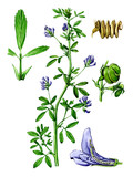 Fruits and leaves of Medicago. Botany poster