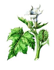 Fruits and leaves of Datura stramonium. Botany