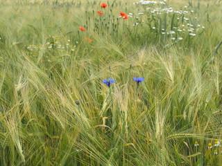 Gerstenfeld mit Wildblumen
