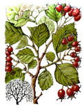 Fruits and leaves of hawthorn (Crataegus). Botany poster