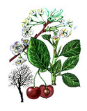Fruits and leaves of Prunus subgen. Botany poster