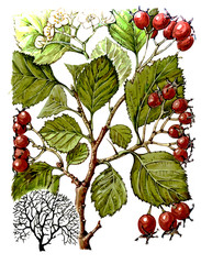 Fruits and leaves of hawthorn (Crataegus). Botany