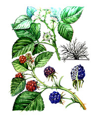 Fruits and leaves of Blackberry. Botany