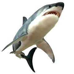 Great White Shark Body