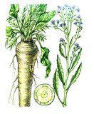 Fruits and leaves of horseradish (Armoracia). Botany poster