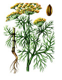 Fruits and leaves of Dill (Anеthum). botany poster