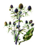 Fruits and leaves of Eryngium. botany poster