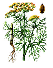 Fruits and leaves of Dill (Anеthum). botany