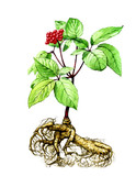 Fruits and leaves of ginseng. Botany poster