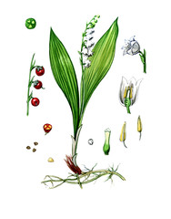 Fruits and leaves of lily of the valley. botany