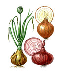 Fruits and leaves of onions Allium cepa. Botany poster