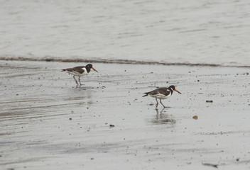 Oystercatcher bird wading on the beach