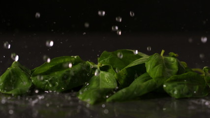 Water dropping onto fresh basil leaves