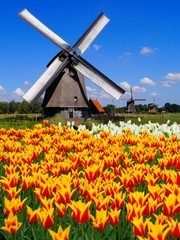 Traditional Dutch windmill with vibrant orange and yellow tulips