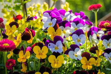 Hornveilchen, Blüten, bunt