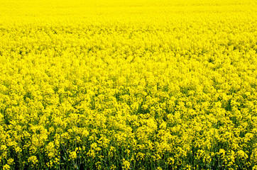 flowering field of rape outdoors  in spring