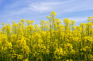 flowering field of rape in spring