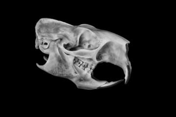 Porcupine Skull