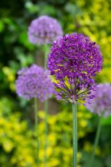 Allium - Zierlauch - Garten im Mai