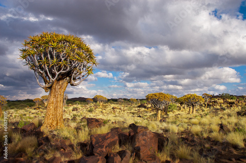 Landscape of Namibia, quiver tree (kokerboom) forest