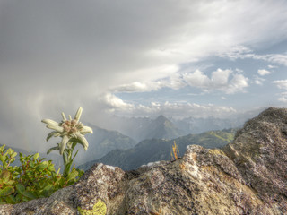 Edelweiss Alpenblume in HDR
