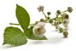 Постер, плакат: Rubus ulmifolius Mittelmeer Brombeere Ежевика вязолистная