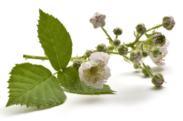 Rubus ulmifolius Mittelmeer-Brombeere Ежевика вязолистная