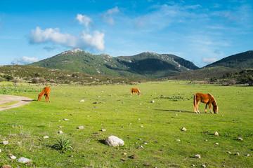 Horses in Sardinia
