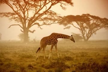 A giraffe, Kenya © kubikactive