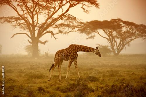 Poster Afrika A giraffe, Kenya