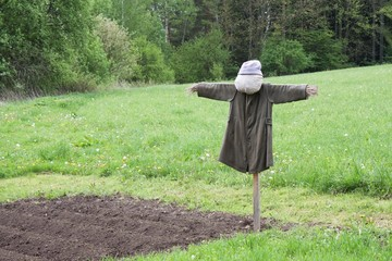 scarecrow in a field sown