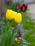 yellow tulips growing in the flowerbed - 64893733