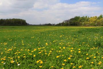 Wiese mit Löwenzahn in Sachsen-Anhalt