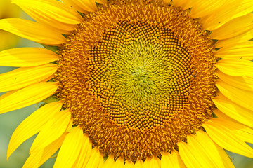 Close up of sunflower