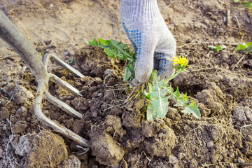 Farmer digs pitchforks malicious weed