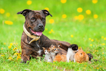 American staffordshire terrier with little kittens and rabbits